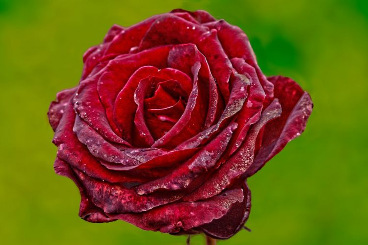 close-up flower plant red rose wallpaper