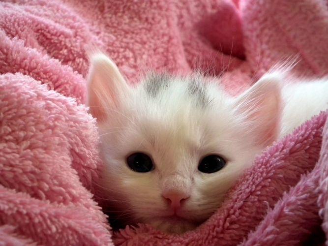animal cat close-up cute feline fur kitten pet wallpaper