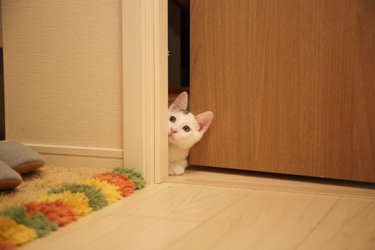 animal cat door feline floor pet wood wallpaper