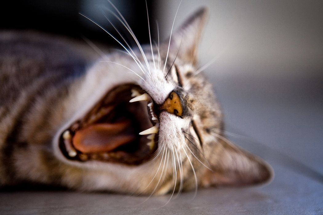 animal cat close-up fangs feline pet tabby yawning wallpaper