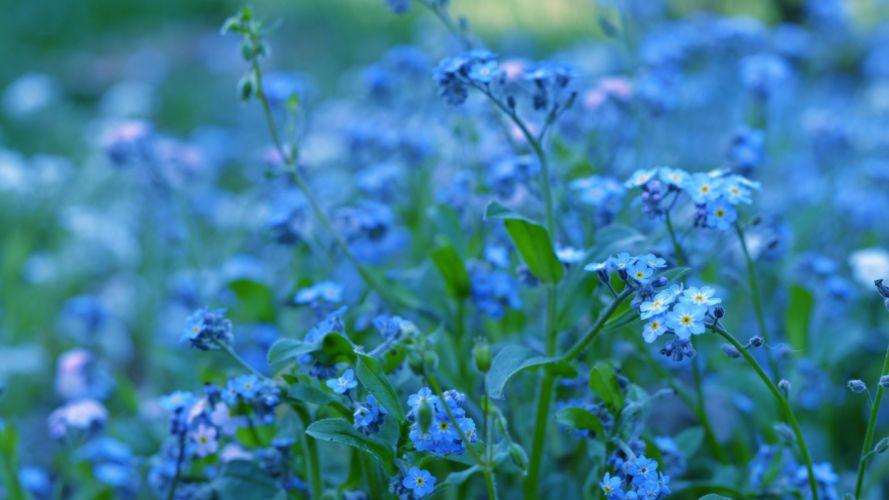 flores azules naturaleza wallpaper
