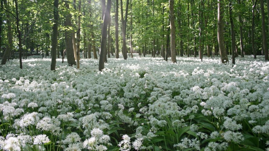flores blancas bosque naturaleza wallpaper
