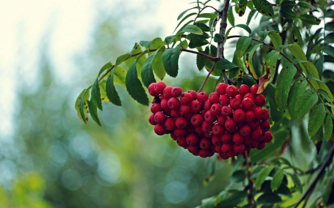 ciruelas rojas naturaleza wallpaper