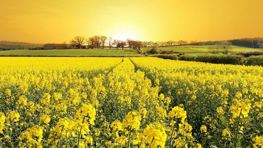 fields-rape-flower-houses-sun-yellow-grass-sky-architecture-peaceful-trees-house-beautiful-field-nature-flowers-landscape wallpaper
