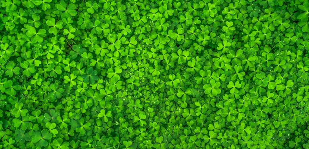 beautiful clover clovers green growth leaves plants shamrock top view trefoil wallpaper