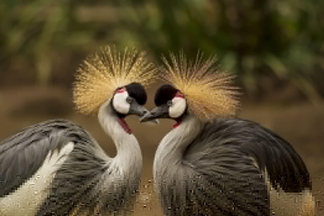 animal animal world avian beak beautiful birds crane elegant feather grey crowned crane headdress nature outdoors pair plumage portrait wildlife wallpaper