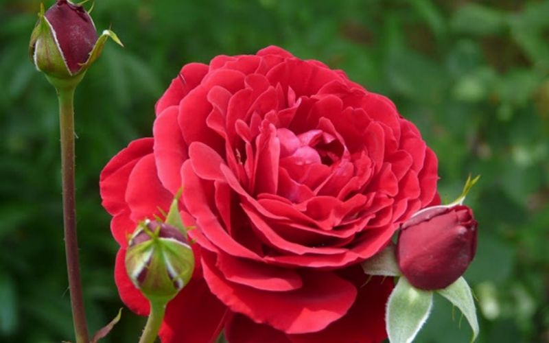 flower-love-roses-beautiful-red-rose wallpaper