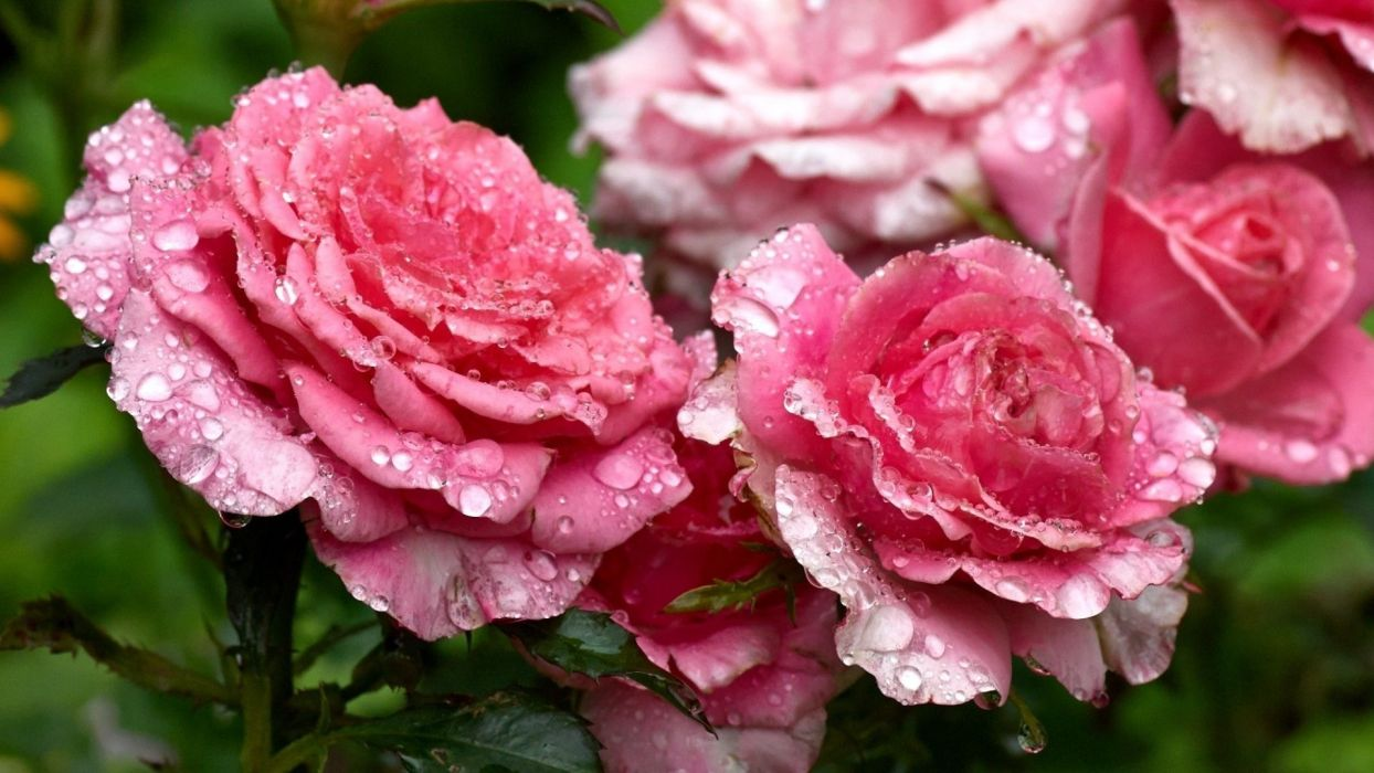 flower-nature-drops-pink-flowers-roses wallpaper