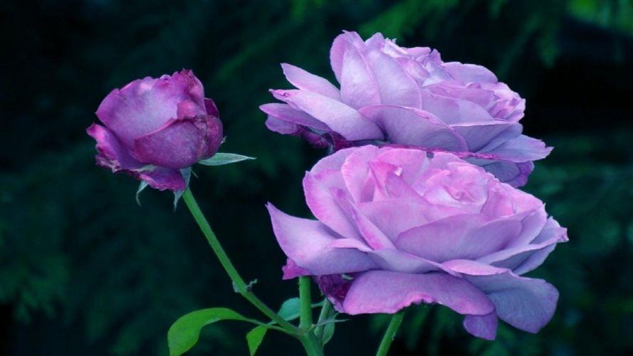 -flower-nature-purple-leaves-flowers-large-green-stem-petals-roses wallpaper