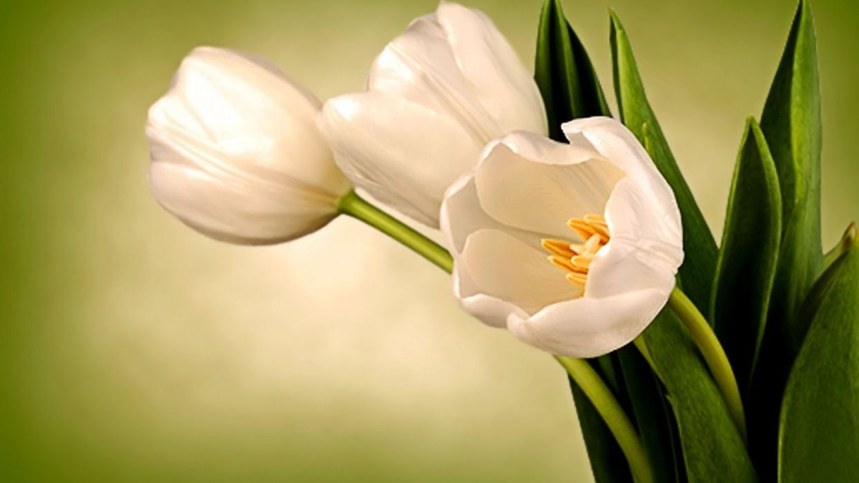 flower-photography-flowers-romantic-green-lovely-tulips-beautiful-still-spring-romance-pretty-leaves-life-love-nature-beauty-tulip-white- wallpaper