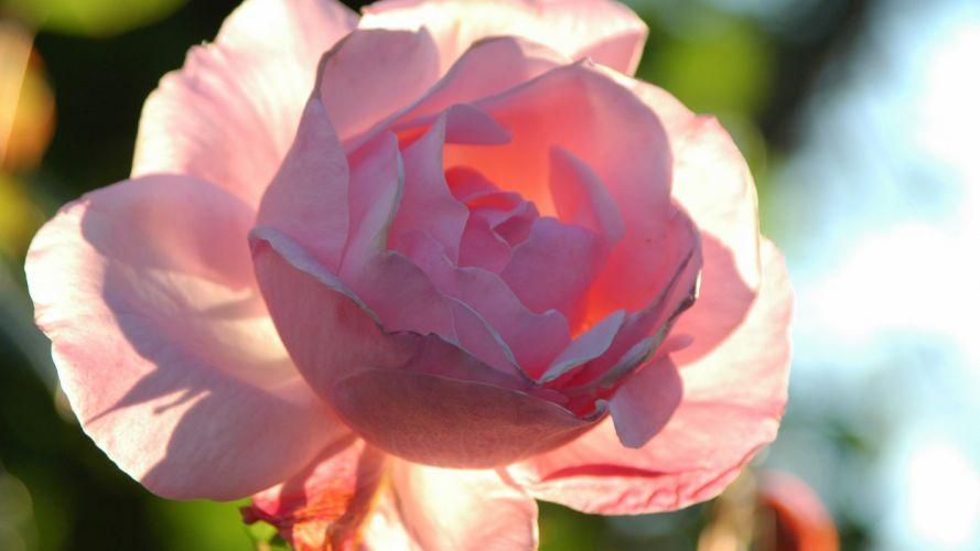 flower-pink-shine-soft-rose-sun wallpaper