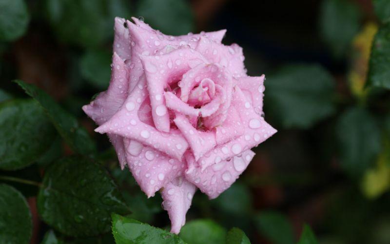petals rose flower bud water rose drops rosa wallpaper