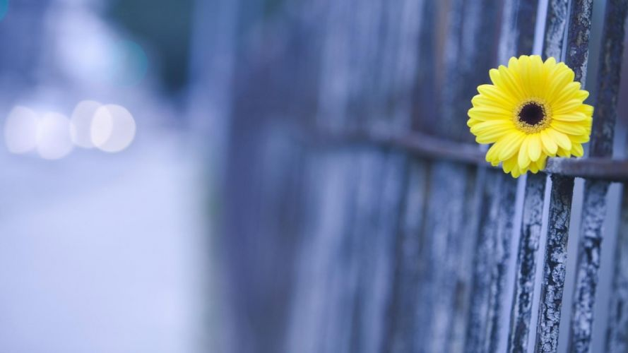 single-yellow-beauty-flower-on-the-fence wallpaper