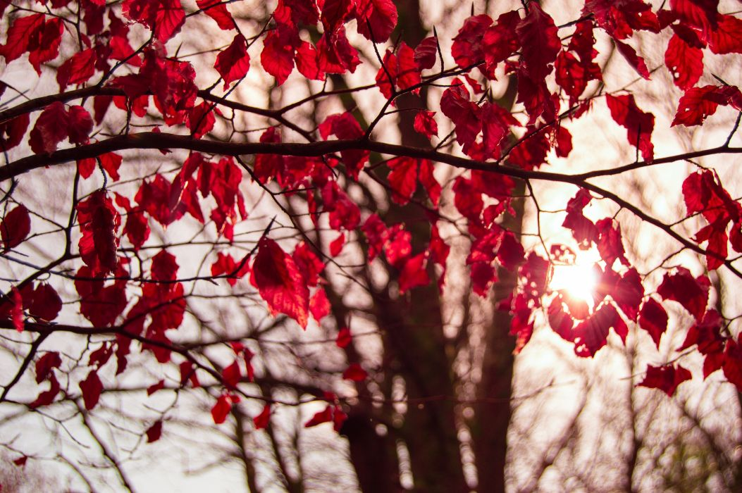 autumn branch crimson fall forest leaves nature red sunlight trees vines wallpaper