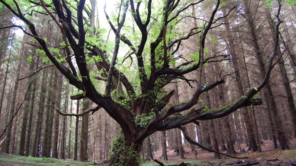 viejo arbol bosque invierno naturaleza wallpaper
