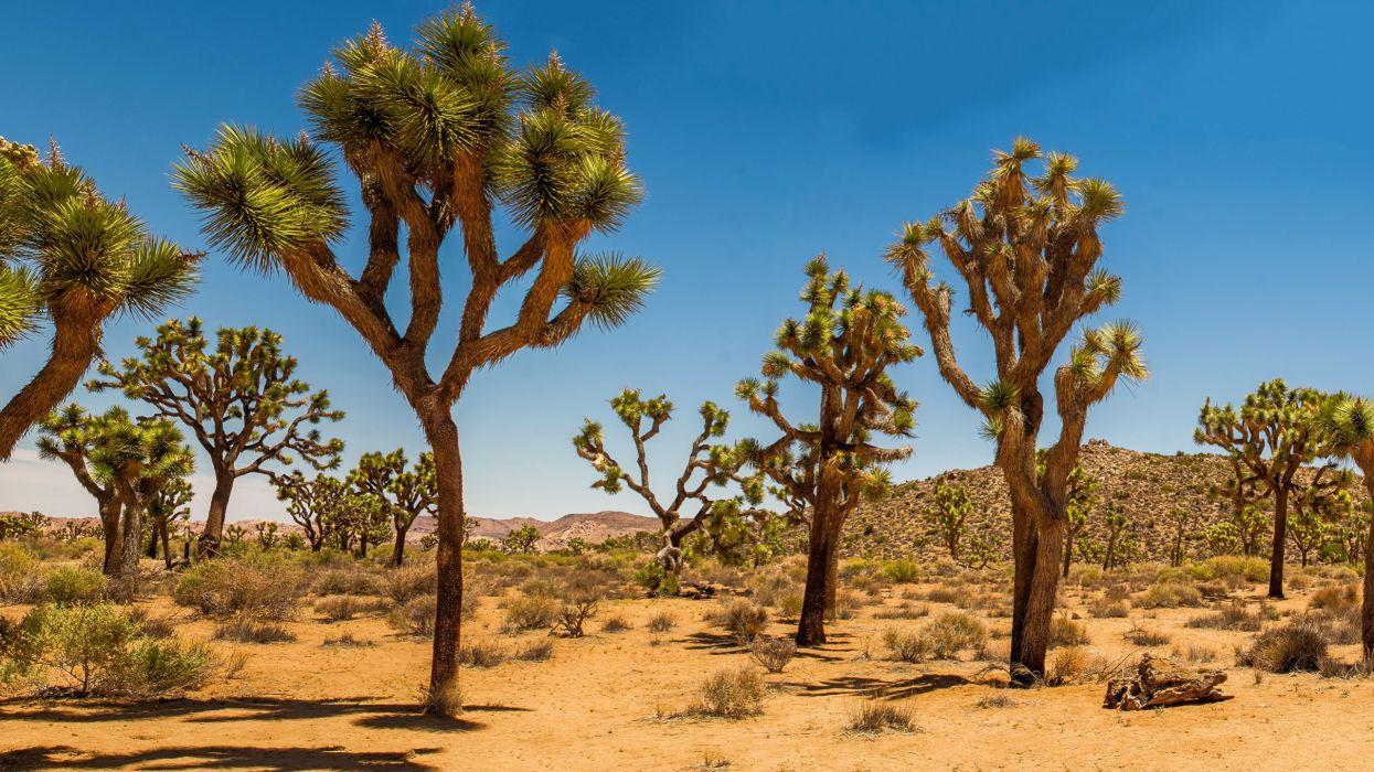 USA Parks Joshua arboles naturaleza wallpaper
