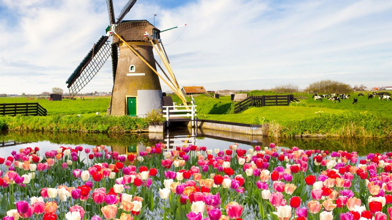 primavera holanda tulipanes molino primavera wallpaper