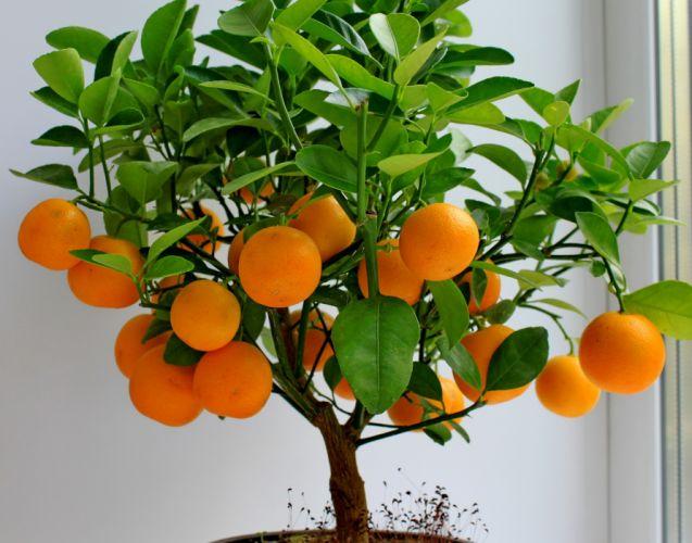 Fruit Citrus Mandarine Foliage Trees Food wallpaper