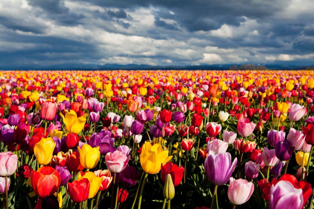 Tulips Many Fields Horizon Flowers wallpaper