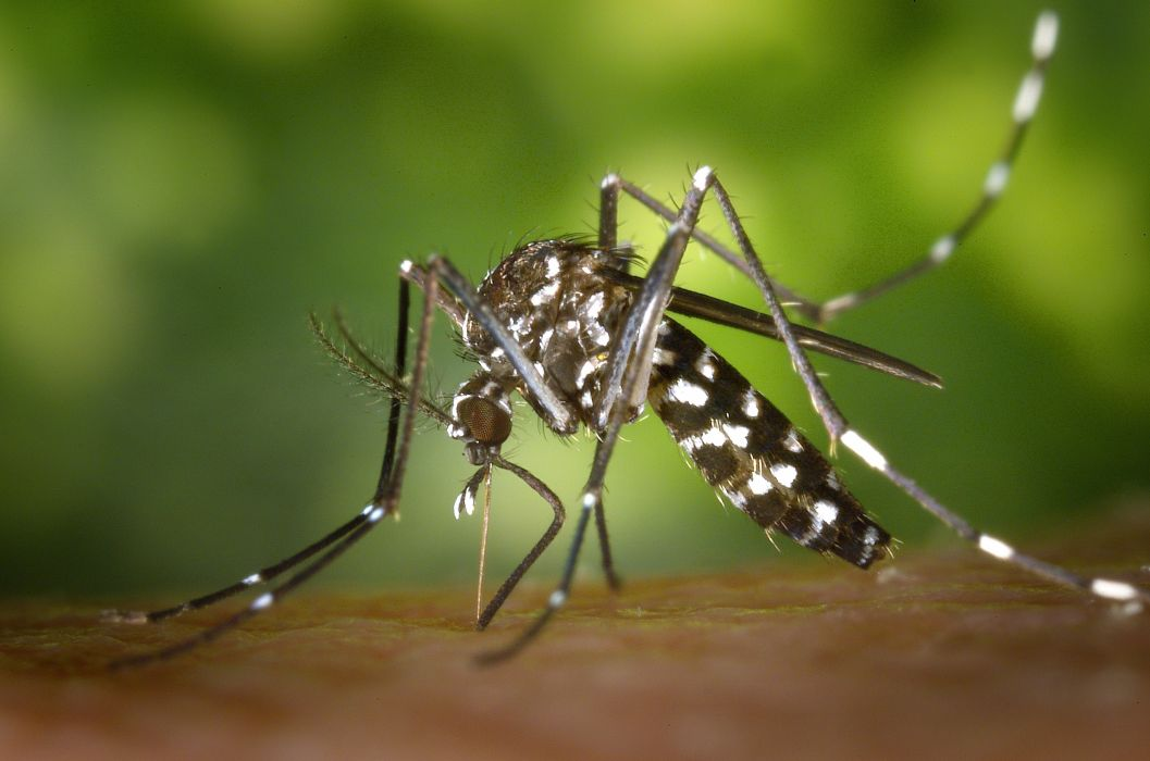 aedes albopictus asian tiger mosquito close-up insect macro mosquito wallpaper