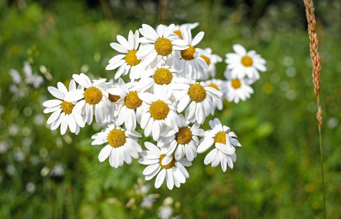beautiful bloom blooming blossom blur bright chamomile close-up color delicate field flora flower flowers garden grass growth hayfield nature outdoors petals plant season summer sunny wild flower wallpaper