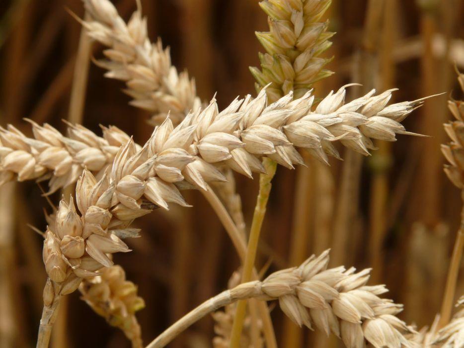 agriculture barley blur close-up crops dry farm grow macro plants rye wheat field wheats wallpaper