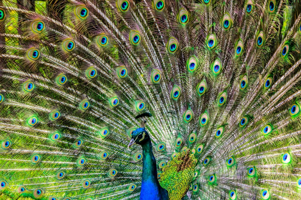 animal animal photography bird close-up feathers macro peacock tail wallpaper