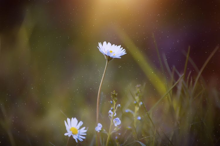 blooming blur close-up daisy delicate flora flowers focus grass growth leaves macro majestic nature petals wallpaper
