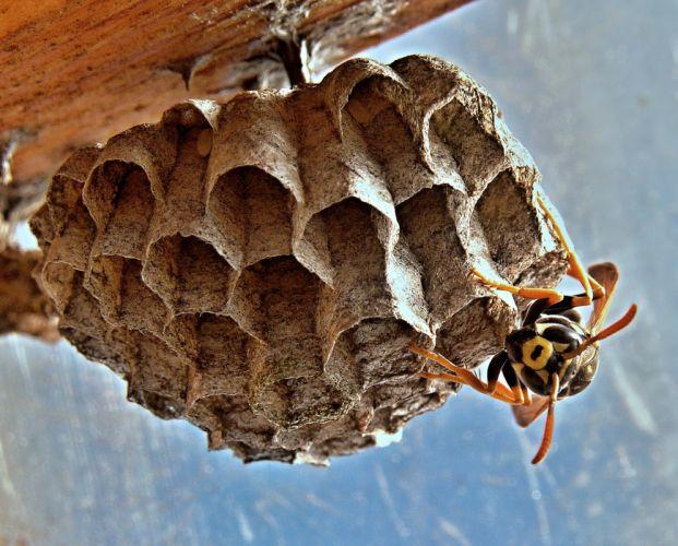 close-up insect macro wasp wasp's nest wallpaper