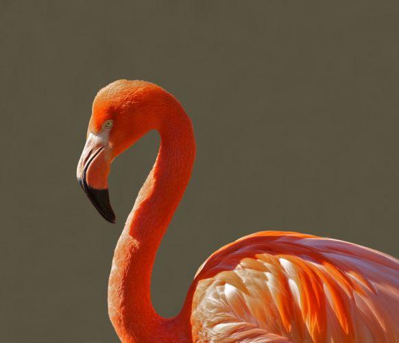 animal animal photography bird close-up flamingo macro wallpaper
