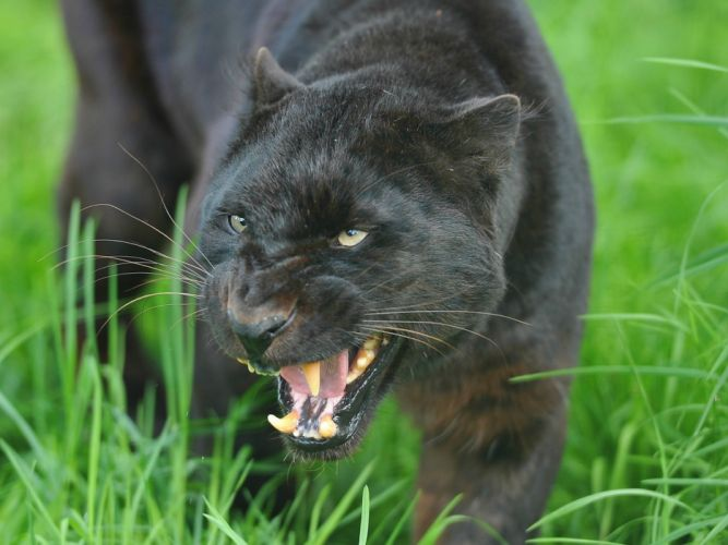 Panthers Roar Grass Whiskers Animals wallpaper