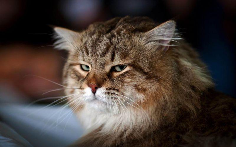 gato comun felino animales wallpaper