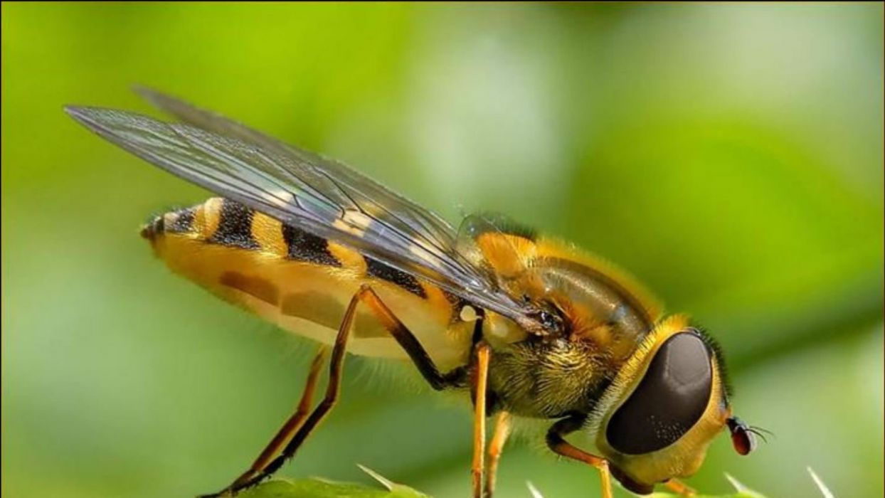 abeja insecto animales wallpaper