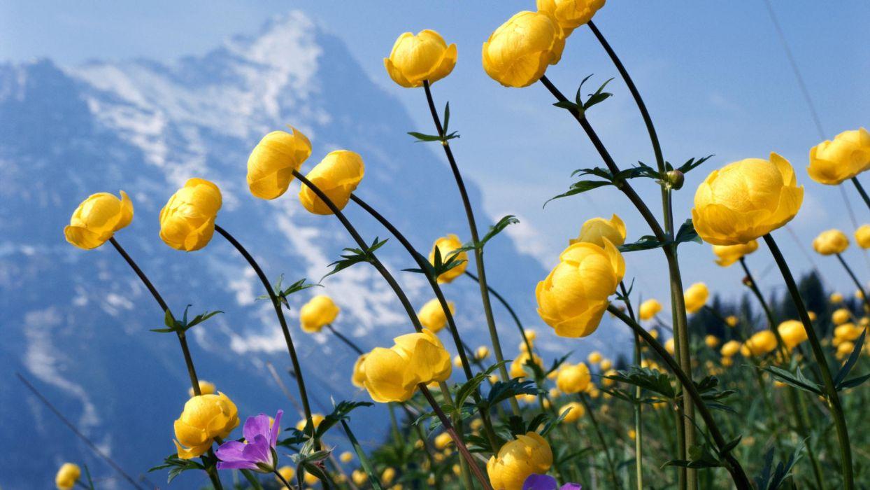 flores amarillas silvestre naturaleza wallpaper