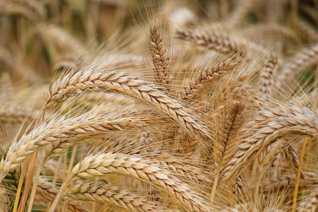 agriculture barley cereal close-up countryside crop daylight dry farm farmland field flour food gold grain growth harvest nature nutrition outdoors pasture rural rye seed spike straw summer wheat wheat field wallpaper