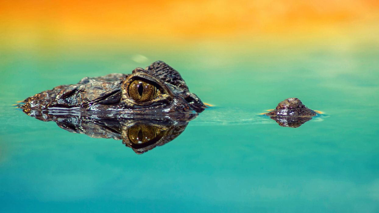 amphibian animal close-up color Crocodile exotic eye gators lake mirroring outdoors predator reflection reptile scale swimming turquoise water wild wildlife wallpaper