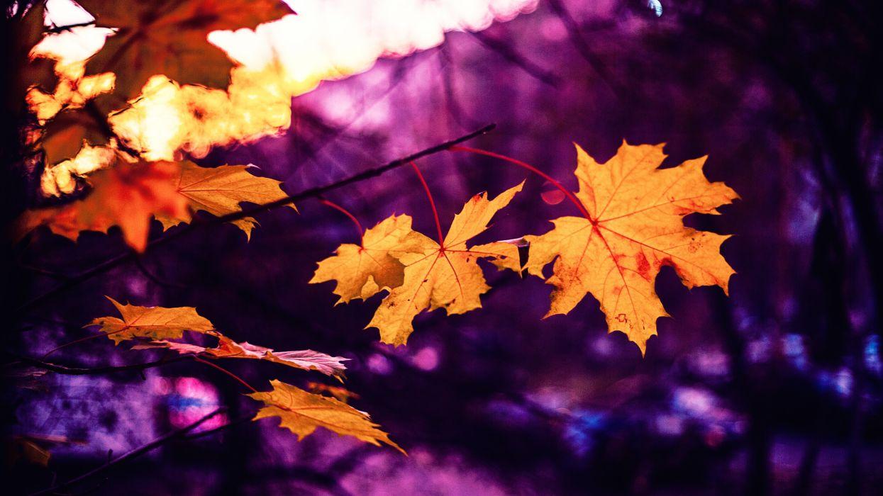 autumn autumn leaf autumn leaves beautiful blur bright color fall flora foliage gold growth light maple maple leaves nature outdoors plant season sunlight tree wood yellow wallpaper