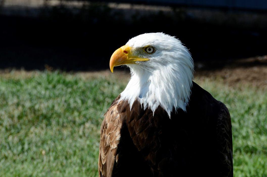 animal avian bald bald eagle beak bird bird of prey eagle feather plumage predator wildlife royalty free images wallpaper