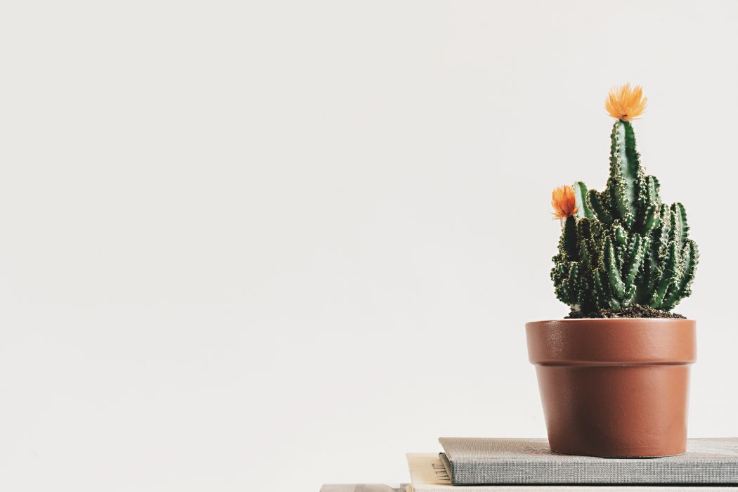 book botanical cactus cactus plant close-up decoration delicate flower growth indoor interior minimalism plant pot potted plant simple table white background wallpaper