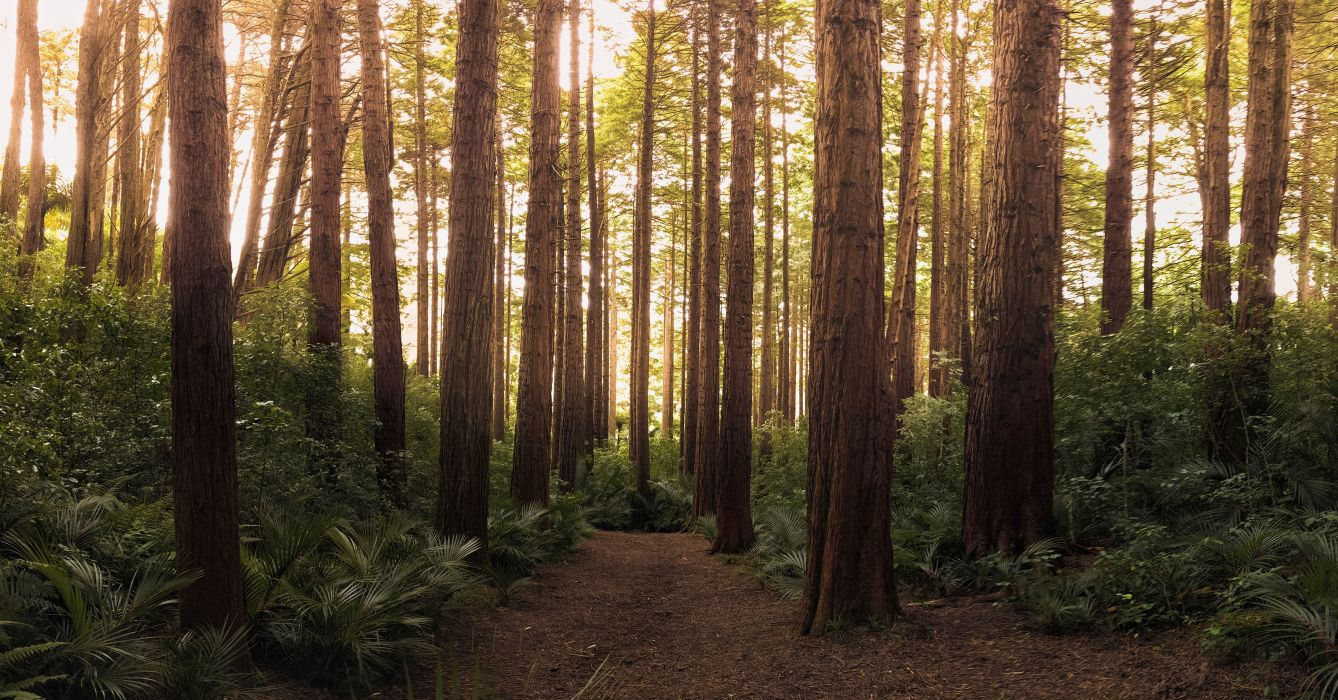 Conifer Daylight Environment Evergreen Forest Nature Outdoors Path Scenic Trail Trees Woods Wallpaper