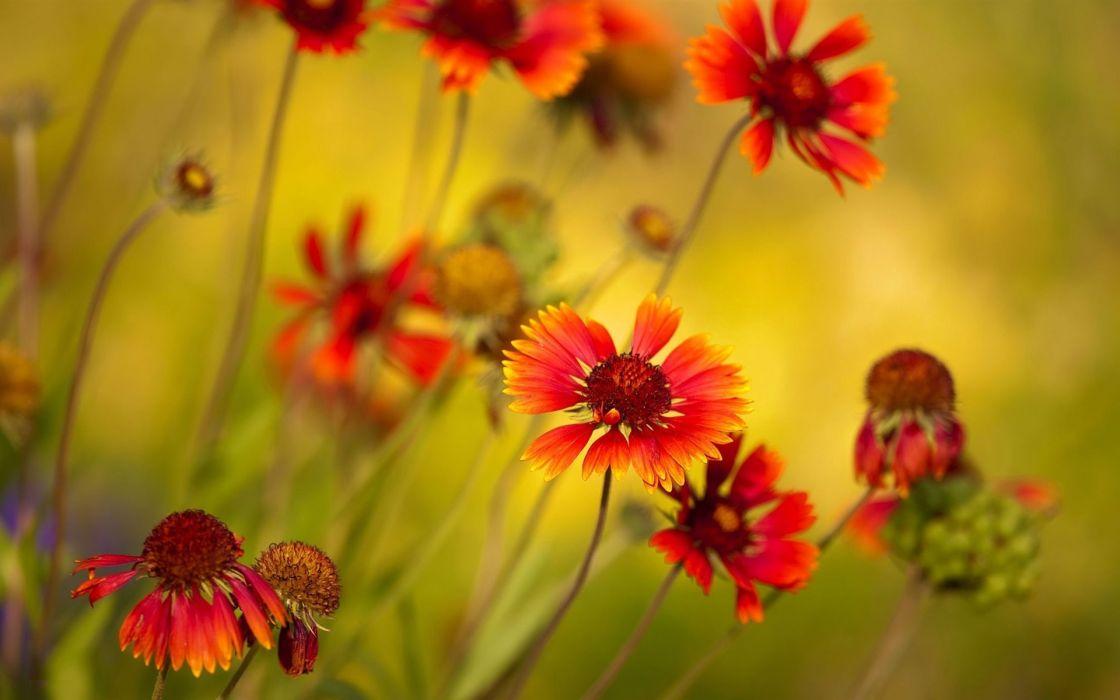 flores silvestres naranjas naturaleza wallpaper