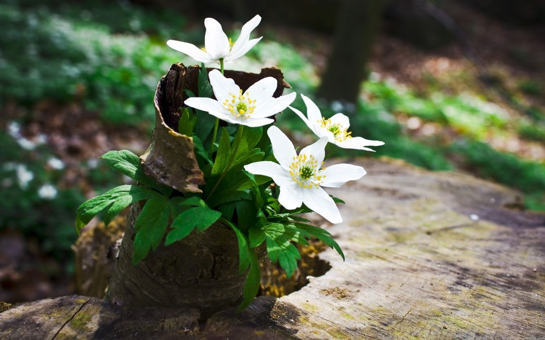Flores Blancas Silvestres Naturaleza Wallpaper 1920x1200 1099585