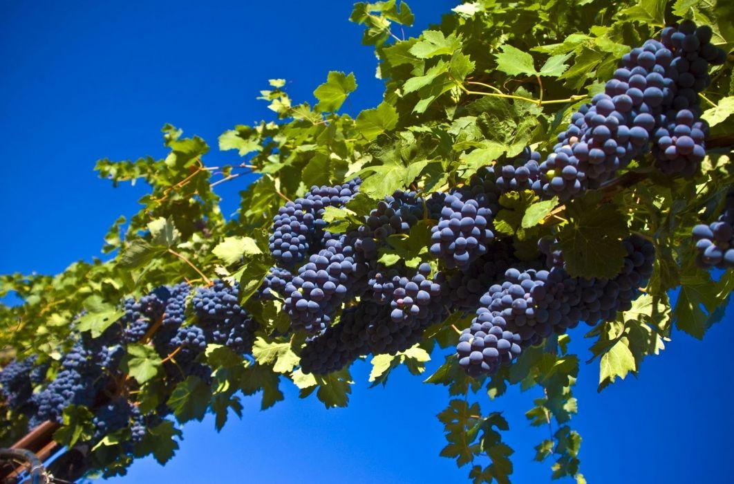 racimos uva negra frutas naturaleza wallpaper