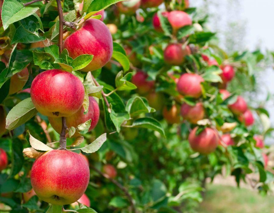 manzanas rojas arbol naturaleza frutas wallpaper