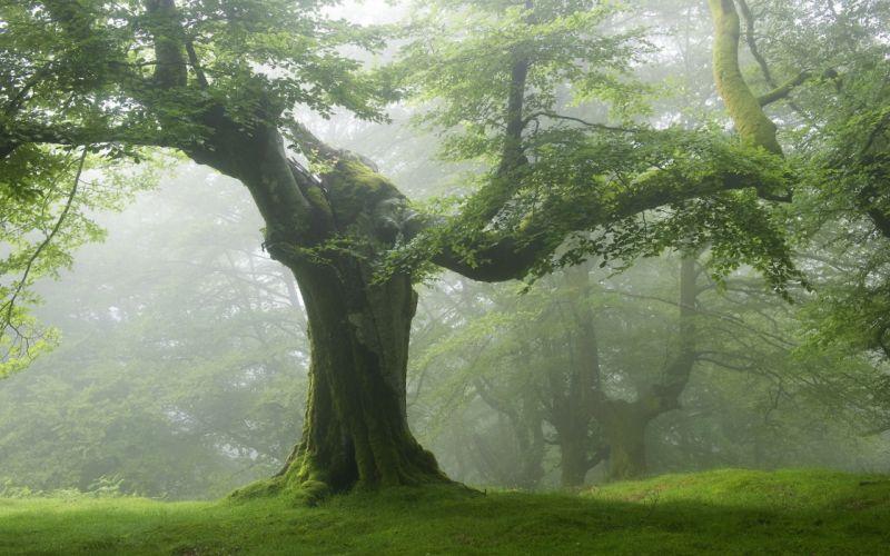 viejo arbol bosque naturaleza wallpaper
