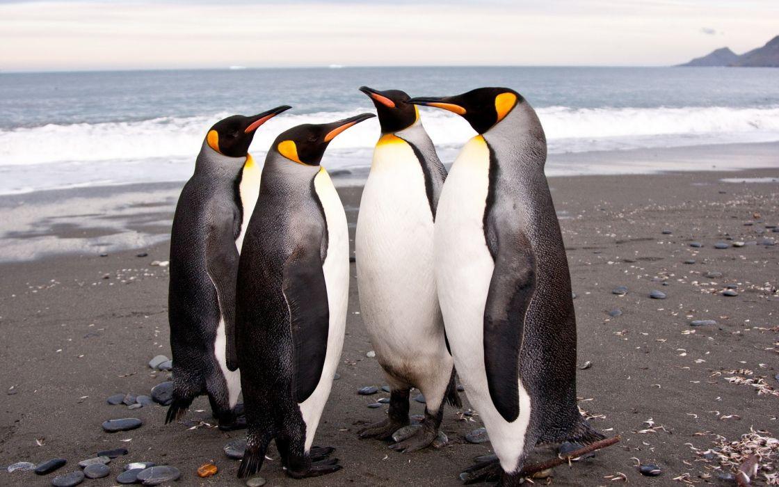 pinguinos playa animales wallpaper
