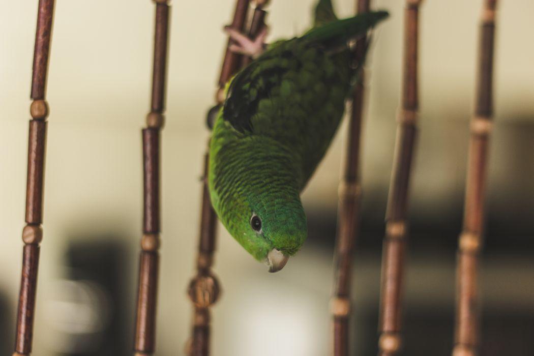 parrot lovebird cage wallpaper