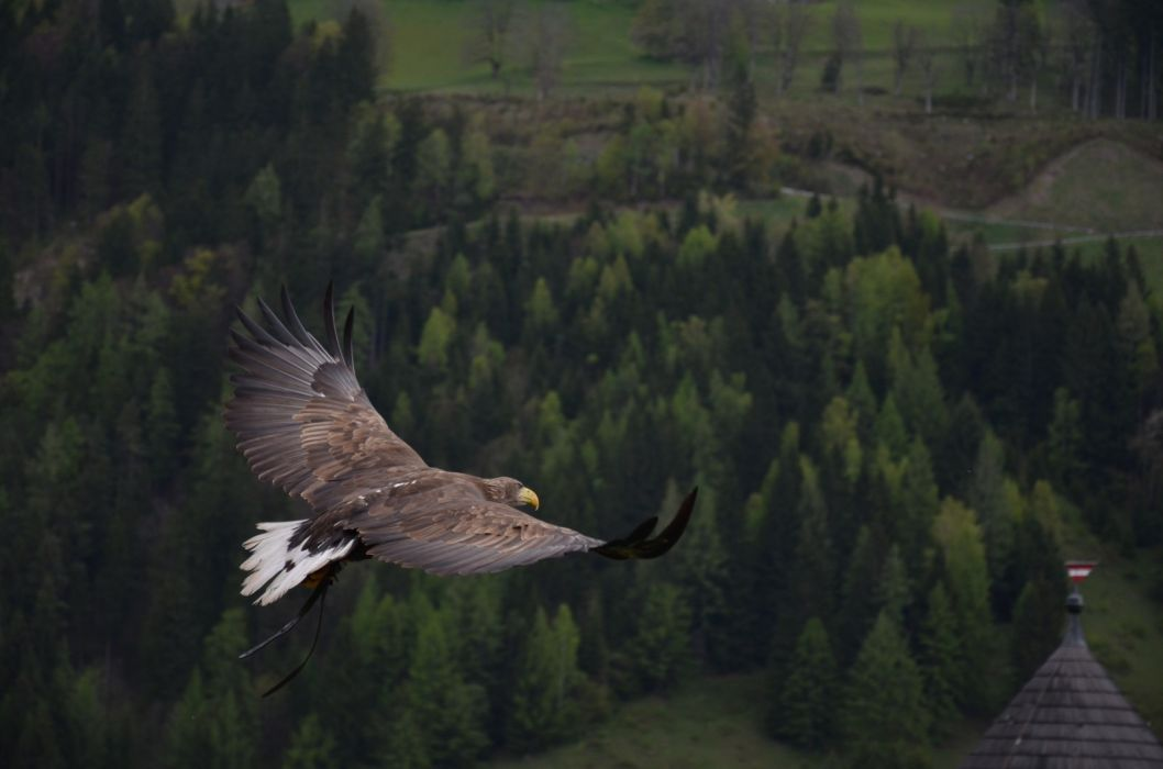 eagle bird flying forest trees- wallpaper