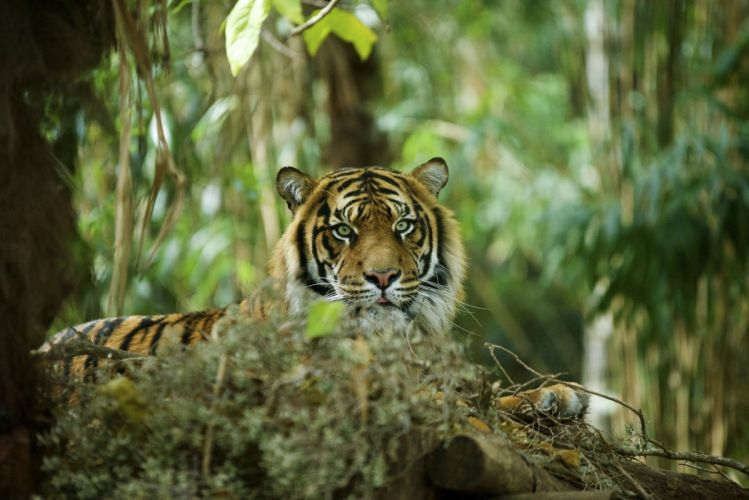 big cat tiger wildlife predator wallpaper