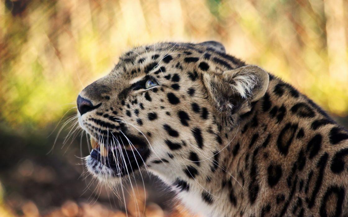 big cat tiger wildlife predator big wallpaper